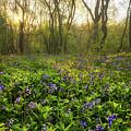 Wistow Wood Bluebells 1 by James Billings