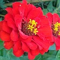 With Beauty As A Pure Red Rose by Debra Lynch