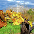 Withered Grape Vine by Ira Marcus