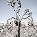 Withering Joshua Tree by Alex Snay