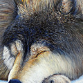 Wolf Dreams by Brian  Commerford