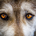 Wolf Eyes by Teri Virbickis