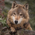 Wolf Face by Jerry Fornarotto