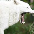 Wolf Fangs by Scott Kemper