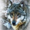 Wolf Gaze by Elaine Malott
