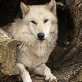 Wolf In A Log by Pat Eisenberger