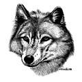 Wolf In Pencil by Nick Gustafson