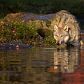 Wolf In Pond by Michelle Lalancette