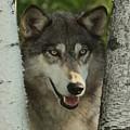 Wolf In The Birch Trees by Myrna Bradshaw