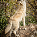 Wolf In The Woods by Pat Eisenberger