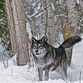 Wolf In Trees by Scott Read