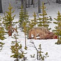 Wolf On Elk Kill by Dennis Hammer