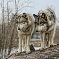 Wolf Pair by Shari Jardina