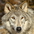 Wolf Portrait by Jack Bell