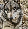 Wolf Portrait by Shari Jardina