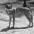 Wolf Pride by Sara Raber