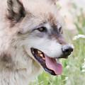 Wolf Smile by Athena Mckinzie