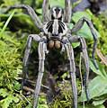 Wolf Spider Hogna Sp Male, Mindo by James Christensen