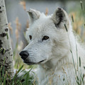 Wolf, White by Tom Wagner