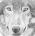Wolf Wildlife Portrait Original Sketch By Pigatopia by Shannon Ivins
