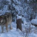 Wolf Wonderland by Jeff Shumaker