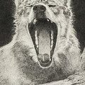 Wolf Yawns - Drawing by Steve Somerville