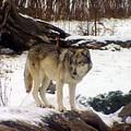 Wolfe In Winter Snow by Charlene Cox