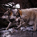 Wolves Synchronized Dancing by Yair  Leibovich