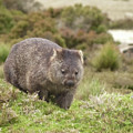 Wombat Tasmania #1 by Teresa A and Preston S Cole Photography