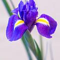 Wonderful Iris With Dew by Yana Reint
