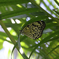 Wonderful Look At A Tree Nymph Butterfly In Foliage by DejaVu Designs