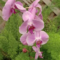 Wonderful Orchid by Chris Colibaba