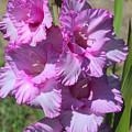 Wonderful Pink Gladiolus by Carol Groenen