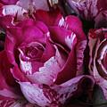 Wonderful Pink Red Rose by Garry Gay