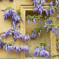 Wonderful Wisteria by Tim Gainey