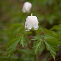 Wood Anemone Heavy From The Rain by Jouko Lehto