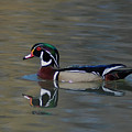Wood Duck - Male by Ronald Grogan