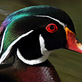 Wood Duck At Beaver Lake Stanley Park Vancouver Canada by Pierre Leclerc Photography