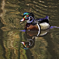 Wood Duck Autumn Reflections by Leslie Reagan -  Joy To The Wild Photos