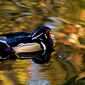 Wood Duck by Clayton Bruster