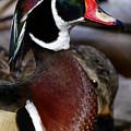 Wood Duck Cuteness by Sue Harper