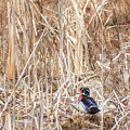Wood Duck Drake 2 by Bill Wakeley