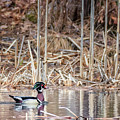 Wood Duck Drake 2018 by Bill Wakeley