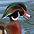 Wood Duck Drake Calling In Spring Courtship by Max Allen