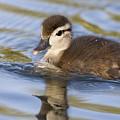 Wood Duck Duckling Swimming Santa Cruz by Sebastian Kennerknecht