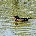 Wood Duck by September  Stone