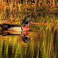 Wood Duck Evening by Deborah Benoit