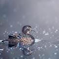 Wood Duck Hen by Bill Wakeley