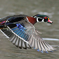 Wood Duck In Action by Mircea Costina Photography