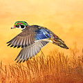 Wood Duck In Flight by Laura D Young